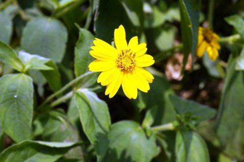 Herbs & People  Aspilia Africana: The Unique Anti-Haemorrhage Plant