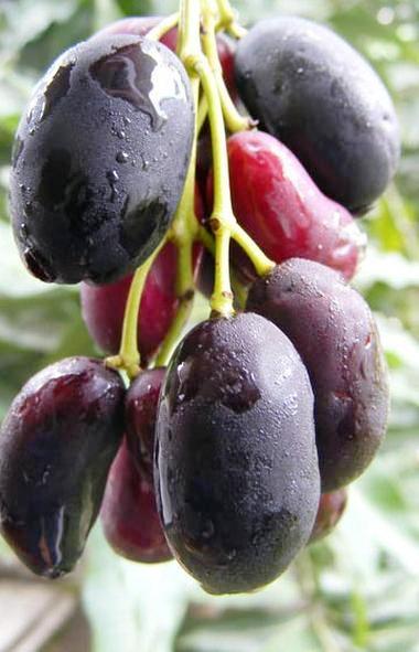 Herbs & Plants. Syzygium cumini. An anti-diabetic plant ...